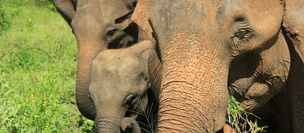 Indian elephants close up by Insider Tours